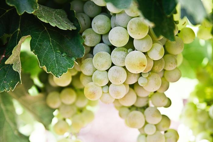 aceto di vino bianco usi proprietà benefici